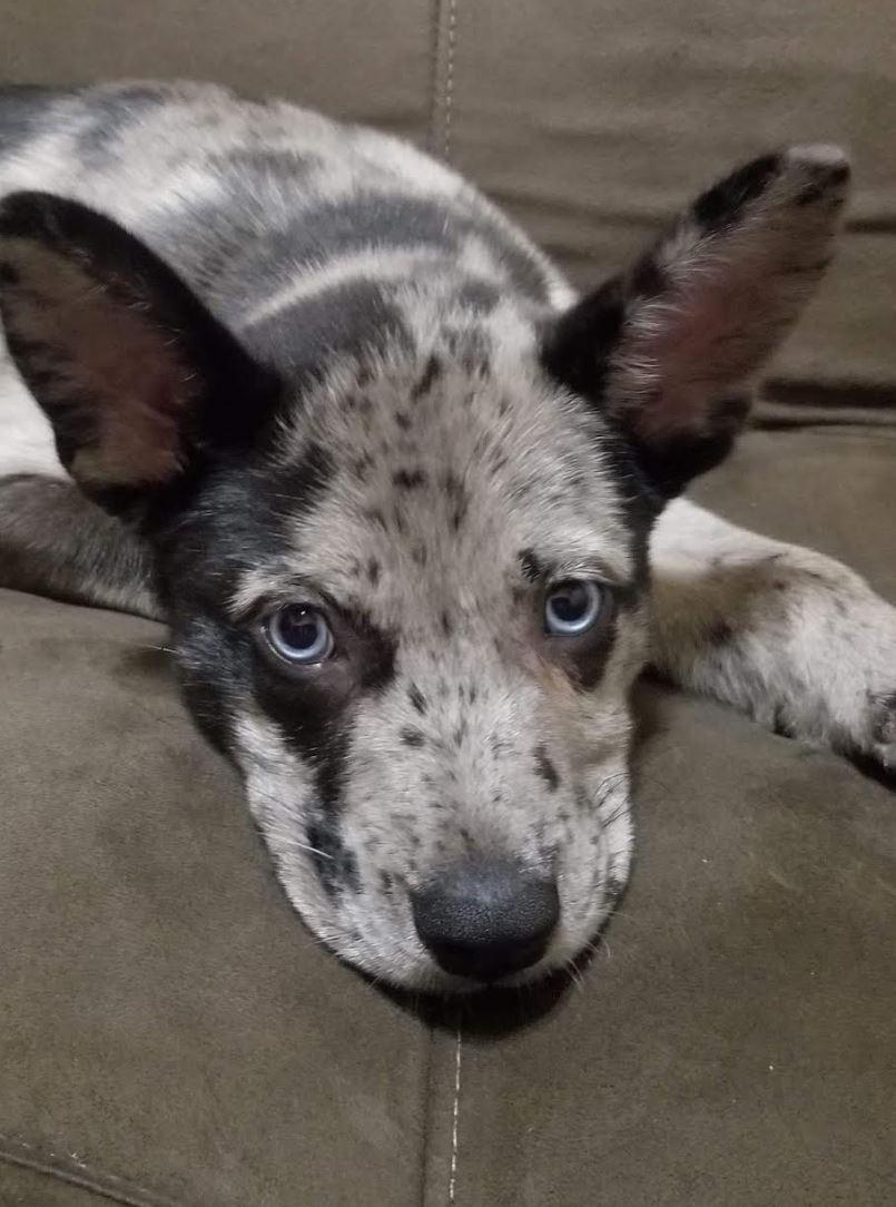 Meet Stormy, a Petstablished Australian Shepherd Dog in New York