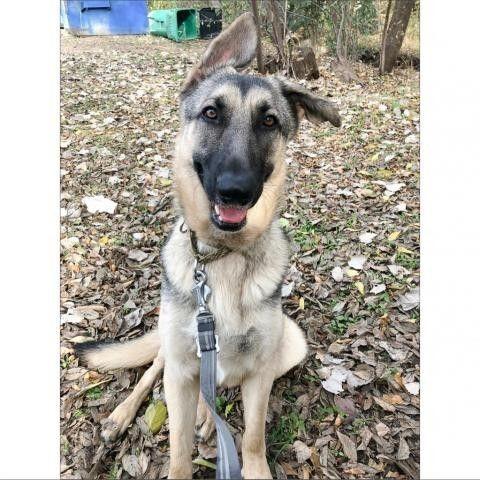 Meet Gavino, a Petstablished German Shepherd Dog Dog in Austin