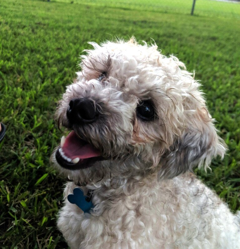 Meet Rocky A Petstablished Miniature Poodle Dog In Baytown
