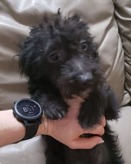 Meet Raven A Petstablished Poodle Toy Or Tea Cup Dog In