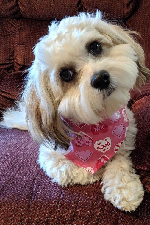 Meet Casey, a Petstablished Shih Tzu Dog in Jacksonville