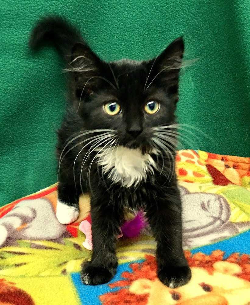 Black cat med