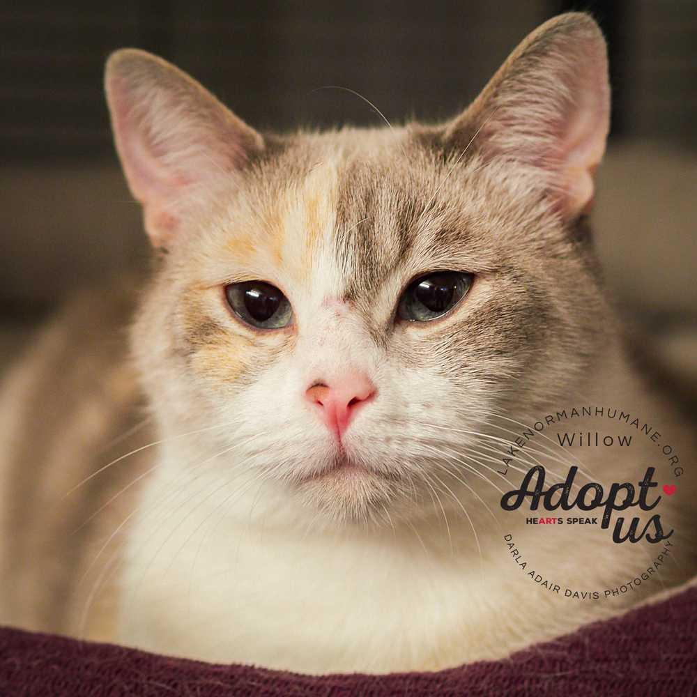 P8282233willow feline adopt us