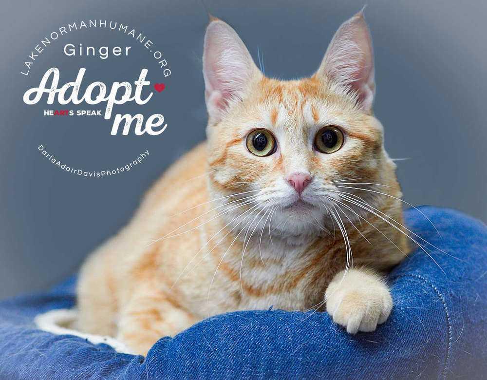 Pb081229 ginger feline adopt me