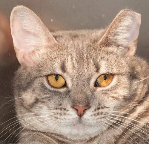 Meet Jade A Petstablished Domestic Short Hair Cat In Wantagh