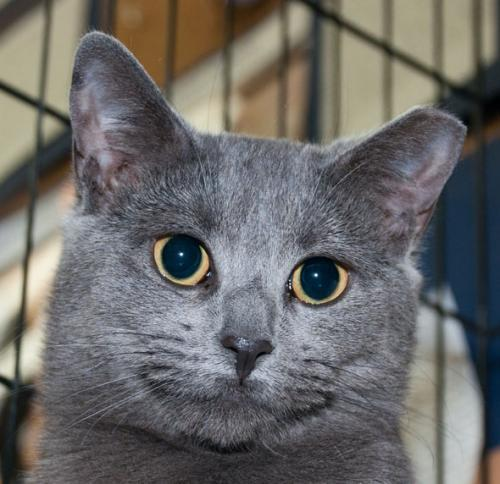 Meet Keiko A Petstablished Russian Blue Cat In Wantagh
