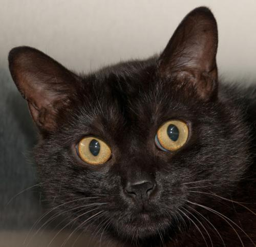 Meet Scrappy A Petstablished Bombay Cat In Wantagh