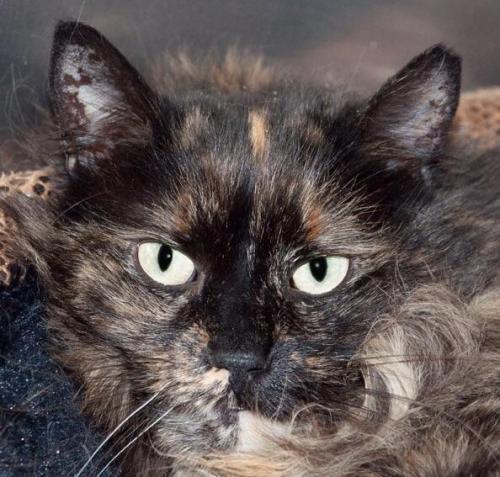 Meet Farrah A Petstablished Maine Coon Cat In Wantagh