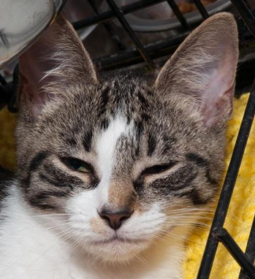 Meet July Petsmart Bellmore A Petstablished Domestic Short Hair Cat In Wantagh