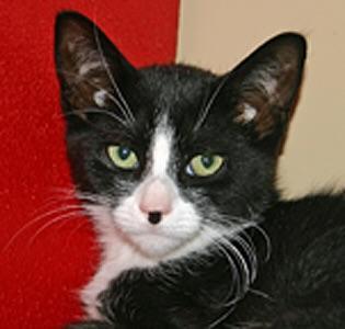 Meet Sushi A Petstablished Domestic Short Hair Cat In Wantagh