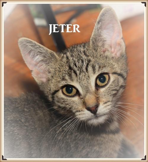 Meet Jeter Petsmart Belllmore A Petstablished Domestic Short Hair Cat In Wantagh