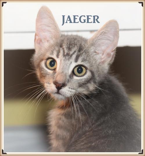 Meet Jaeger Petsmart Bellmore A Petstablished Domestic Short Hair Cat In Wantagh