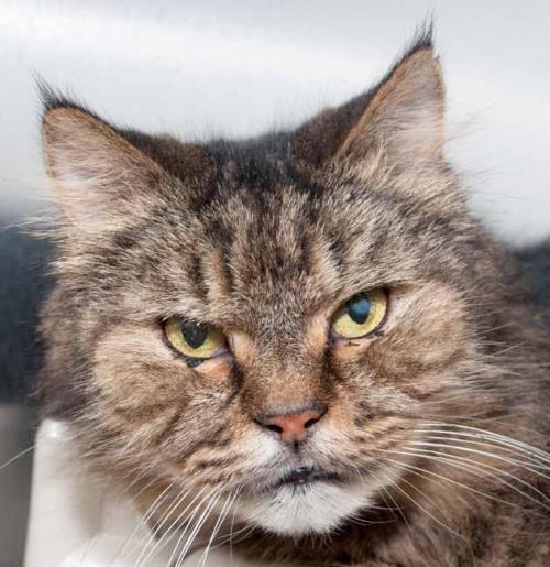 Meet Fionn A Petstablished Maine Coon Cat In Wantagh