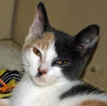 Meet Bitsy Petsmart Huntington A Petstablished Domestic Short Hair Cat In Wantagh