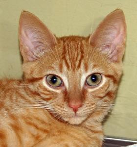 Meet Jack Petsmart Huntington A Petstablished Domestic Short Hair Cat In Wantagh